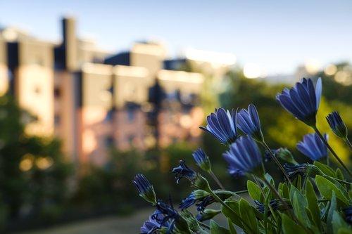 daisies  bornholm marguerite  flowers