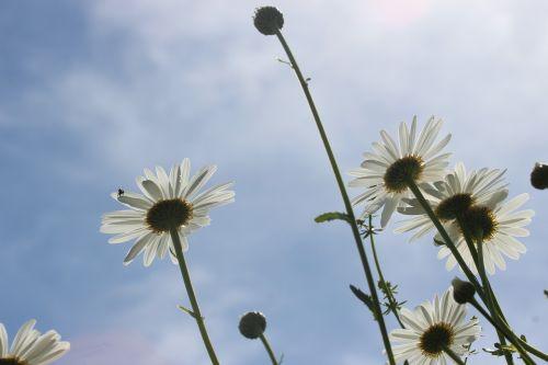 daisies white marguerite
