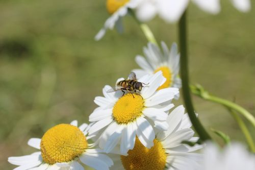 daisies hoverfly flowers