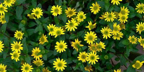 daisies  flower  yellow