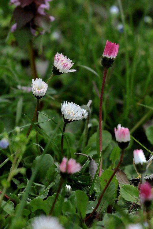 daisies  prato  nature