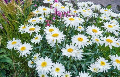 daisies  flower  blossom
