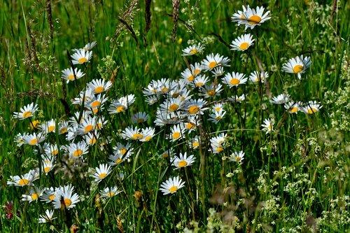 daisies  meadow  flowers