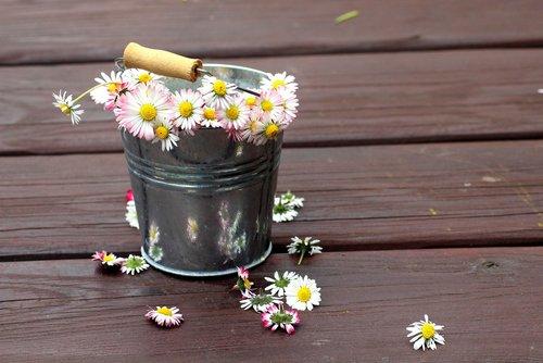 daisies  broken  pluck