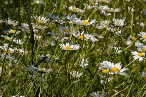 daisies  meadow  nature