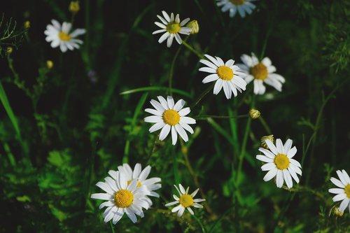 daisies  flowers  nature