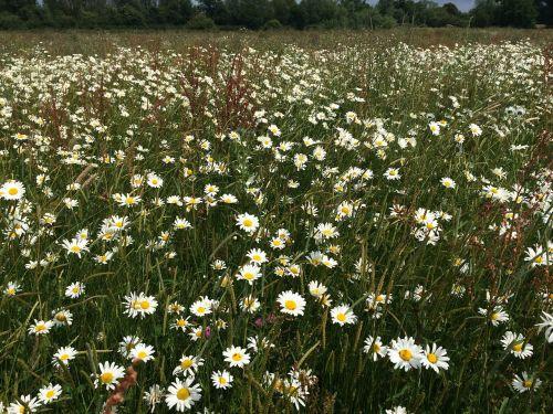 daisies field flowers