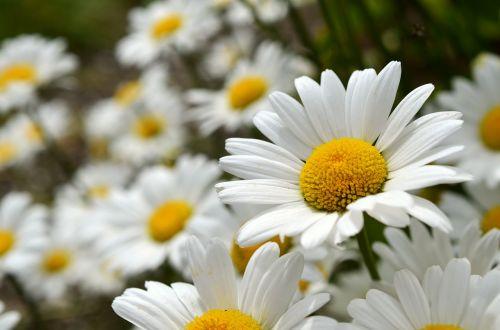 daisies flowers leucanthemum