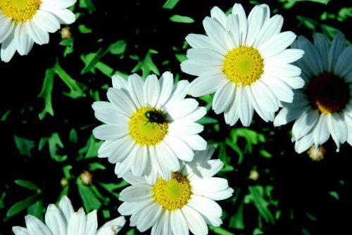 daisies white nature