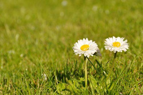 daisies nature flowers