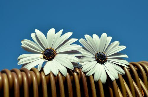 daisies blue sky beach chair