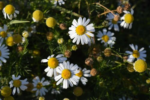 daisy flower pharmaceutical camomile