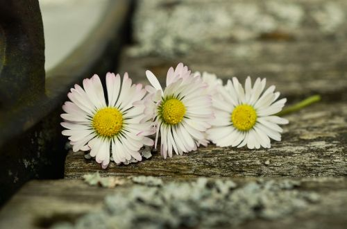 Daisy,mediena,ištempta mediena,Uždaryti,gėlė,žiedas,žydėti,balta,romantiškas,trys