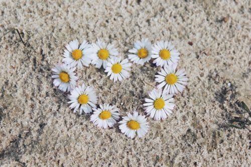 daisy flowers white