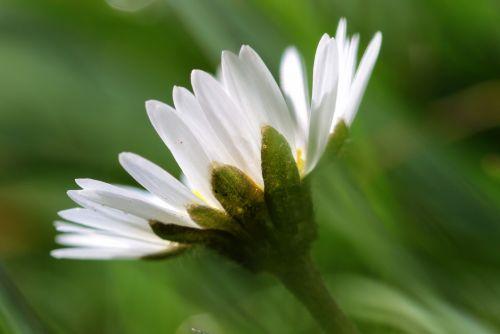 daisy bellis philosophy korbblüter