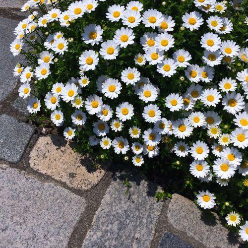 daisy margaret flower bed