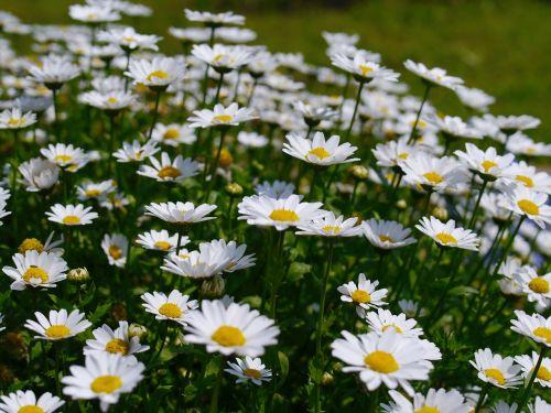 daisy margaret flowers