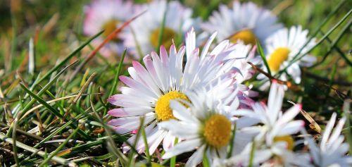 daisy bellis philosophy meadow