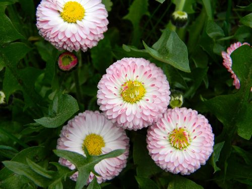 daisy pink flowers small flowers