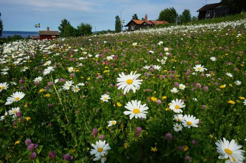 daisy flower bed tällberg