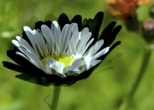 daisy white wild flower