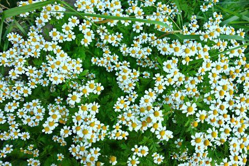 daisy ox eye daisy flower