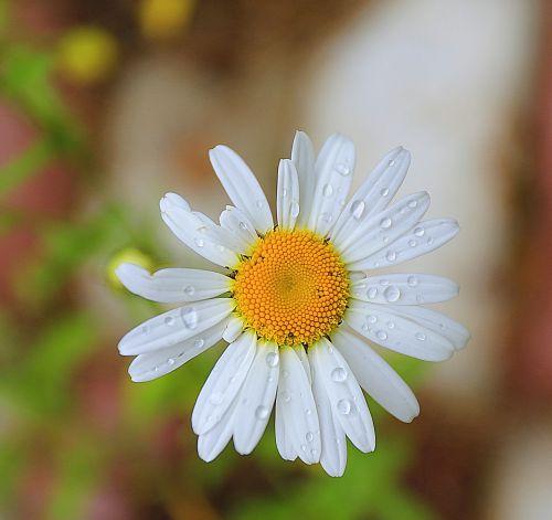 daisy macro raindrops