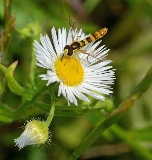 daisy ordinary long belly campestris hoverfly
