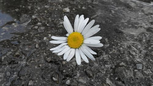 daisy flower bila