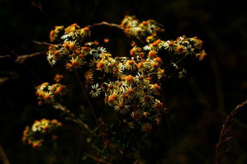 daisy yellow earth
