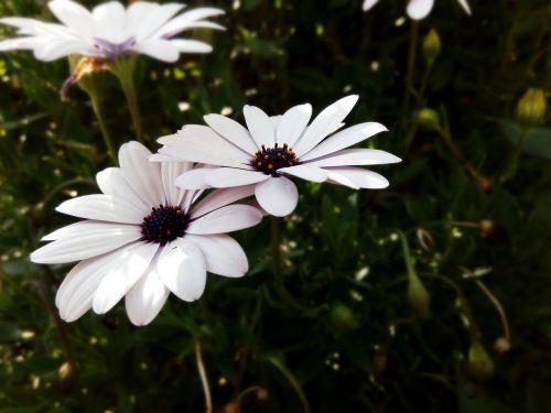african daisy daisy flowers