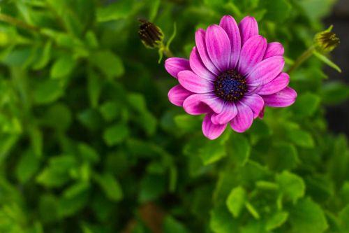 daisy african daisy macro