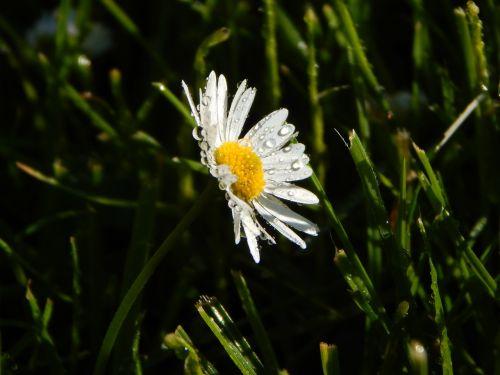 daisy meadow summer