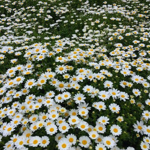 daisy margaret countless