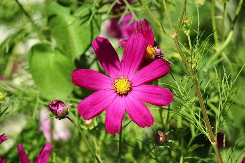 flower spring cosmea
