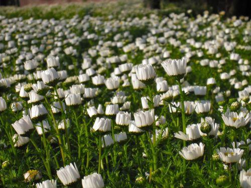 daisy margaret early morning