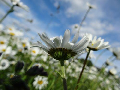 daisy light meadow
