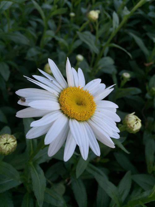 daisy flower floral
