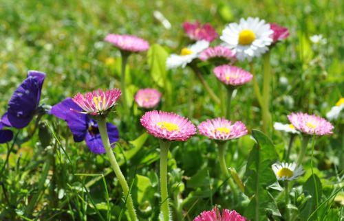 daisy pink daisy spring