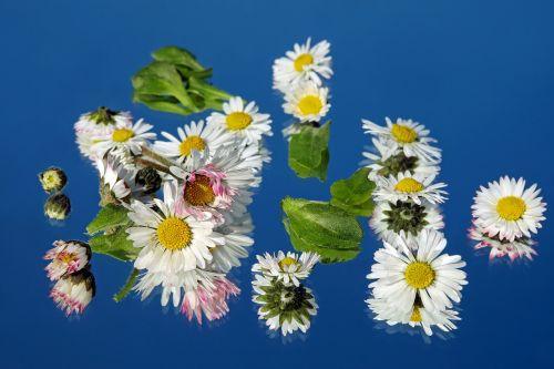 daisy flower blossom