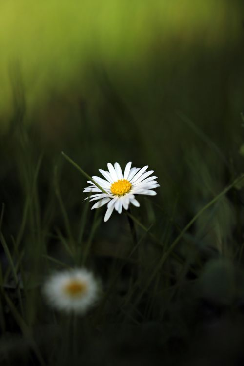 daisy pointed flower flower