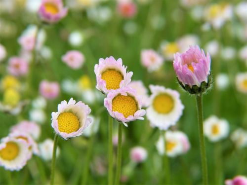 daisy flowers rain
