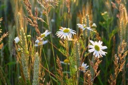 daisy leucanthemum vulgare oxeye daisy