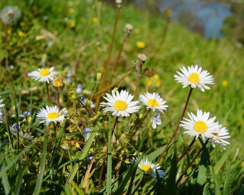 daisy geese flower flora