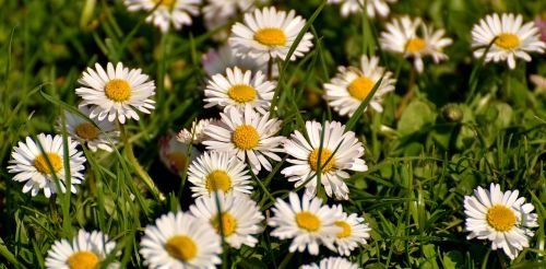 daisy meadow bloom