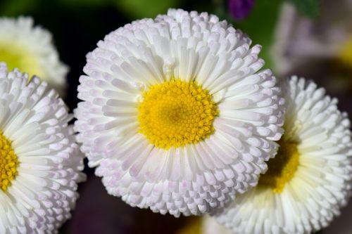 daisy white flower