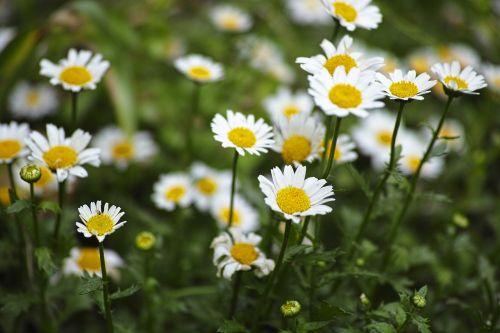 daisy flower garden