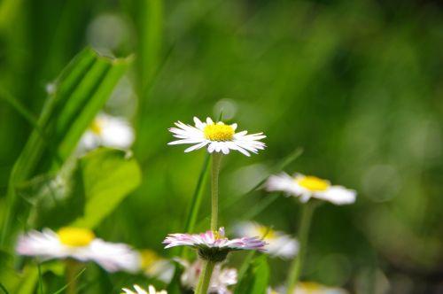 daisy rush spring