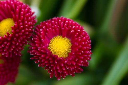 daisy tausendschön plant