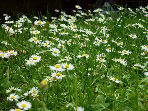 daisy daisies meadow